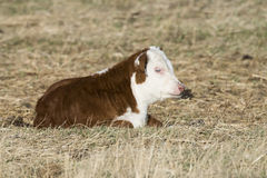 A newborn Hereford calf Stock Image