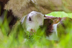 Newborn Hereford calf seeking shelter by its mother Royalty Free Stock Images