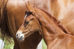 Newborn horse and his mother Royalty Free Stock Photography