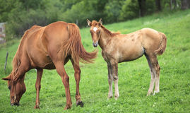 Newborn horse stands beside mother Royalty Free Stock Photos