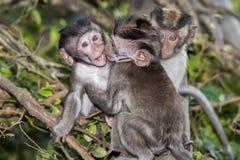 Newborn Indonesia macaque monkey ape close up portrait Stock Photos
