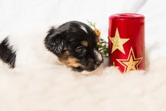 Newborn Jack Russell Terrier puppy. Christmas doggy stock photo