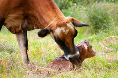 Newborn Jersey calf Royalty Free Stock Image