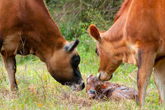 Newborn Jersey calf Stock Images