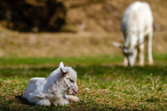 Newborn kid. Kid lying on pasture with green grass Royalty Free Stock Photography