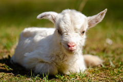 Newborn kid. Kid lying on pasture with green grass Royalty Free Stock Photo