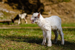 Newborn kid. Kid standing on pasture with green grass Royalty Free Stock Photography
