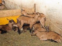 Newborn kids with small horns in animal farm. Small newborn kids with small horns in animal farm Stock Photos