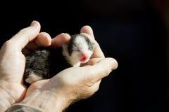 Newborn kitten. A newborn kitten in hands Stock Photo