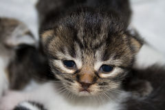 Newborn kitten. A horizontal picture or an adorable black, white and brown striped newborn kitten with just opened eyes and a little frown Royalty Free Stock Photography