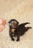 Newborn kitten. Newborn hand reared kitten suckling milk from a syringe Stock Photos
