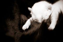 Newborn kitten. Newborn kitten at the time of nursing. Illustration of maternity Royalty Free Stock Image