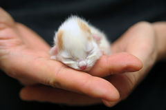 Newborn kitten. A newborn kitten ( 6 hours from birth ) held in a hand Royalty Free Stock Photos