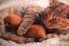 Newborn kitten. With mother cat Royalty Free Stock Photo
