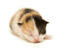 Newborn Kitten. Newborn tortoiseshell kitten, five days old Stock Image