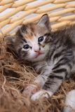Newborn Kitten in a Basket Royalty Free Stock Image