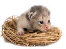 Newborn kitten in a basket on a white background Royalty Free Stock Photos