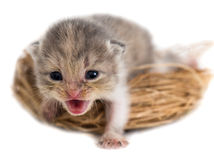 Newborn kitten in a basket on a white background Stock Photography