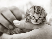 Newborn kitten being held. Homeless animals series. Newborn kitten cradled in hands. Black and white image royalty free stock images