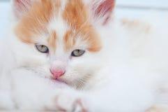 Newborn kitten. Cat nursing newborn kitten. A close up Stock Photo