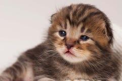 Newborn kitten Royalty Free Stock Image