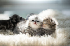 Newborn kitten lying Royalty Free Stock Photo