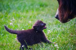 Newborn kitten meet dog royalty free stock photos