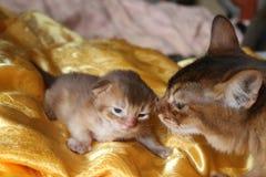 Newborn kitten with  mother. Mom tells the tale newborn kitten Royalty Free Stock Photography