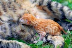 Newborn kitten. Near mom cat on the grass Royalty Free Stock Photos