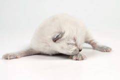 Newborn kitten. One week old white little newborn kitten moving.Studio sot Stock Images