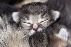 Newborn kitten, ten days Royalty Free Stock Photo