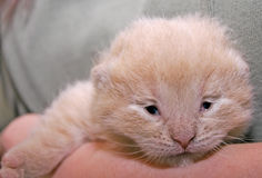 Newborn kitten. ( Two weeks) Stock Photography