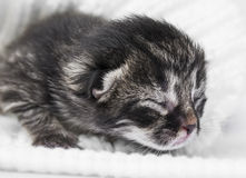 Newborn kitten Royalty Free Stock Photography