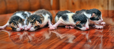 Newborn kittens Royalty Free Stock Image