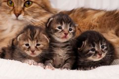 Newborn kittens Royalty Free Stock Photo