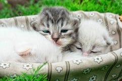 Newborn kittens Royalty Free Stock Photography