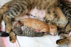 Newborn kittens Royalty Free Stock Images