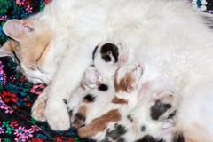 Newborn kittens Royalty Free Stock Images