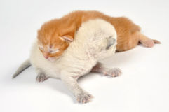 Newborn kittens Royalty Free Stock Photography