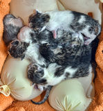 Newborn kittens on warmers. Newborn kittens without a mother at warmers royalty free stock photo