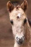 Newborn Konik foal Stock Image