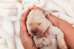 Newborn labrador puppy dog sleeping peacefully in woman palms - top view stock images