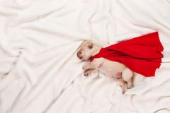 Newborn labrador puppy with red superhero cape sleeping on white. Blanket background - dream big concept Stock Photos