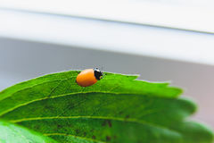 Newborn ladybug without spots Stock Photography