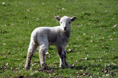 Newborn Lamb. Playing in a field Stock Photos