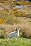 Newborn Lamb Stock Photos