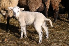 Newborn lamb Stock Photo