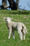 Newborn Lamb Stock Image