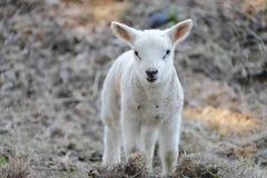 Newborn lamb royalty free stock photo