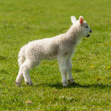Newborn lamb bleating on meadow Stock Image